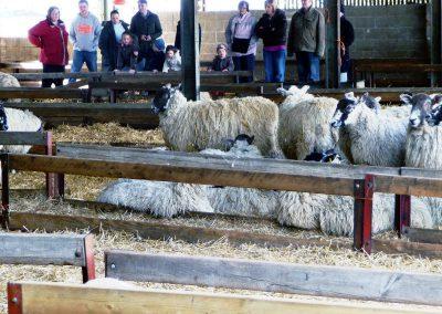 Sheep in their Pen
