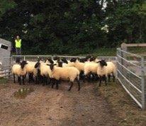 Sheep Auction