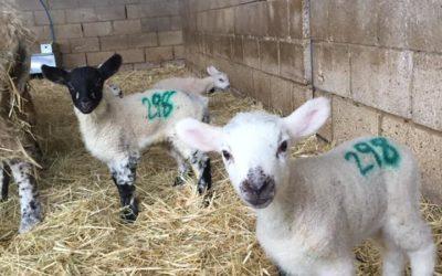 Lambing is in full swing!